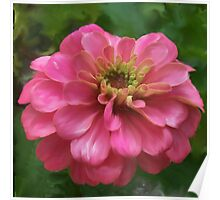 Pink Zinnia Painting Poster