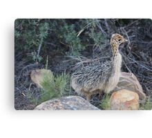 Baby Ostrich at Aquila in South Africa Canvas Print