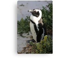 False Bay Penguin South Africa Canvas Print