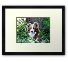 Beauty In Camouflage - Border Collie - NZ Framed Print