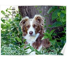 Beauty In Camouflage - Border Collie - NZ Poster