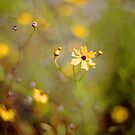 Coreopsis - Florida State Wildflower by Bill Wetmore