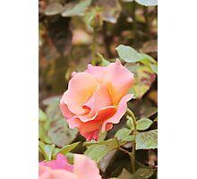 Beautiful apricot rose Photographic Print