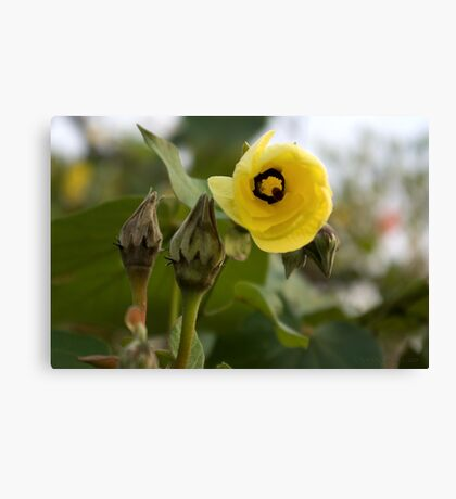 Looking Out ~ Hibiscus Tiliaceus Yellow Bloom Canvas Print