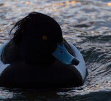 Tufted Duck Sticker