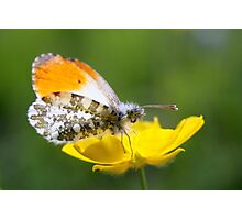 Orange Tip on Buttercup Photographic Print
