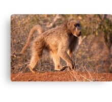 Chacma Baboon, Kruger National Park, South Africa Canvas Print