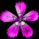 Pink Dianthus by T.J. Martin