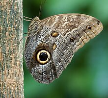 Owl Butterfly by William C. Gladish