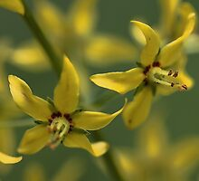 Yellow Whorled Loostrife by T.J. Martin
