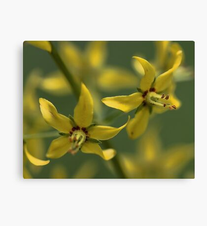 Yellow Whorled Loostrife Canvas Print
