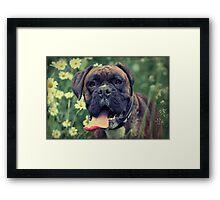 Brindle Boxer Dog Framed Print