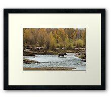 Moose in Mid-Stream Framed Print