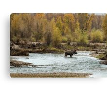 Moose in Mid-Stream Canvas Print