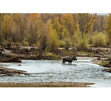 Moose in Mid-Stream Photographic Print
