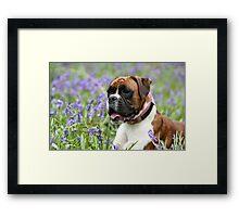 Red brindle boxer dog Framed Print