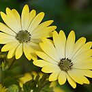 Yellow Cape Daisies by shalisa