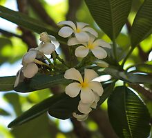 Evergreen Frangipani by Margaret Stanton