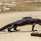 Lace Monitor on Hungry beach Pittwater NSW by Doug Cliff