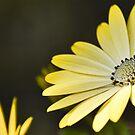 Sun Daisies by shalisa