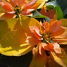 Poinsettia at The Phipps Conservatory Pittsburgh by Imagery