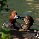 Kissing Ducks by TJ Baccari Photography