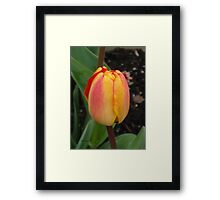 Orange and Yellow Tulip Framed Print
