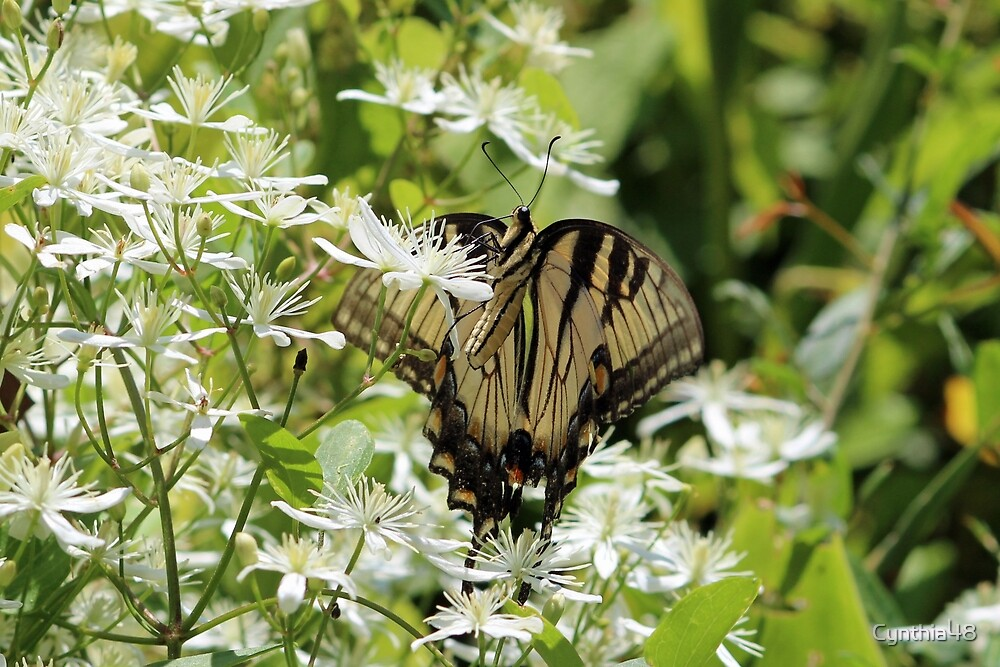 Tiger Swallowtail Butterfly by Cynthia48