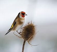 Goldfinch on teasel by M.S. Photography/Art