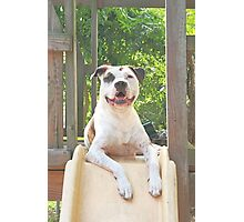 Pit Bull T-Bone Photographic Print