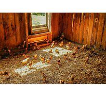 Baby Chicks Photographic Print