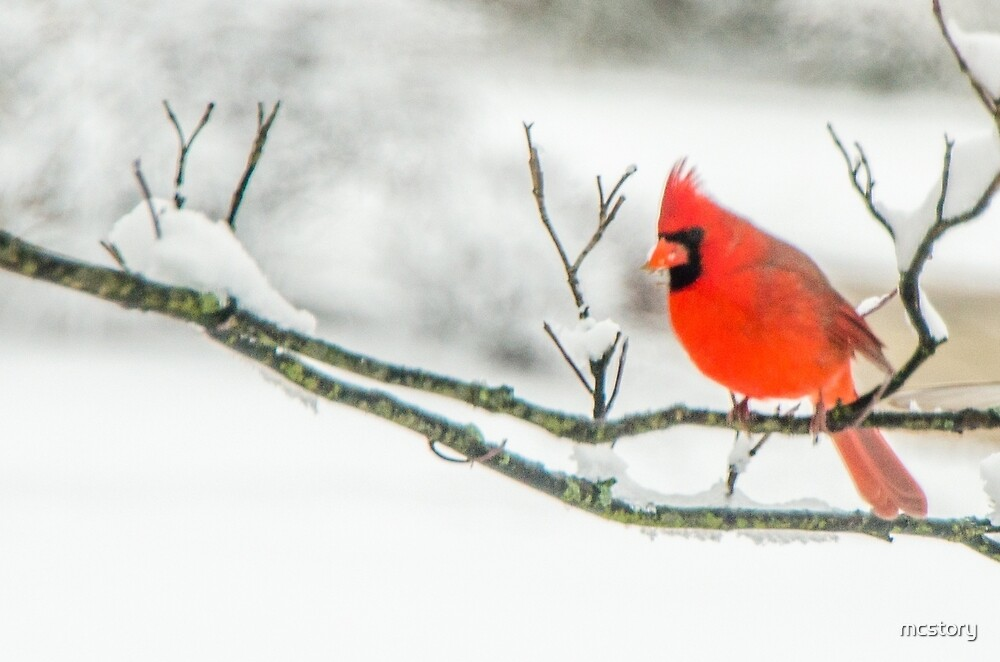 Cardinal In Snow by Mary Carol Story