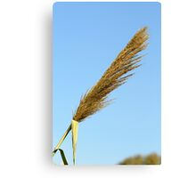 flowering Reed growing on the a River blue sky background Canvas Print