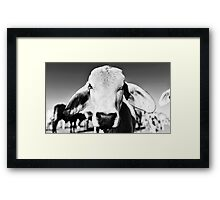 Brahman cow in black and white Framed Print