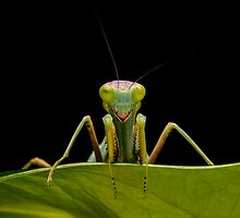 Green Mantis by Brian Avery
