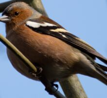 Chaffinch Sticker