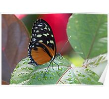 Butterfly and Wet Leaf Poster