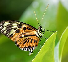 Butterfly Resting by William C. Gladish