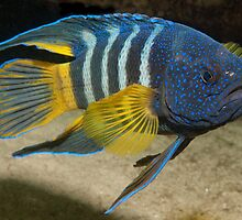 Eastern Blue Devil, Shark Point, Sydney by Erik Schlogl