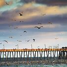 Diving For Anchovies ~ Imperial Beach, California `~ USA by Marie Sharp