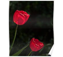 Two Red Tulips Poster