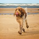 Brown Roan Italian Spinone Dog by heidiannemorris