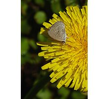 Common Grass Blue butterfly Photographic Print
