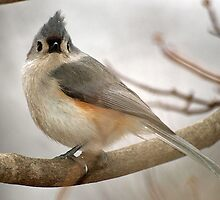 Tufted Titmouse by Bine