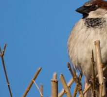 House Sparrow Sticker