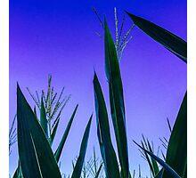Corn stalks in purple skies Photographic Print