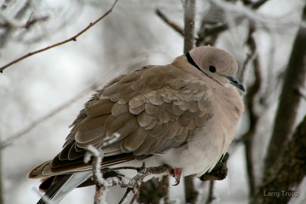 Eurasian Collared Dove by Larry Trupp