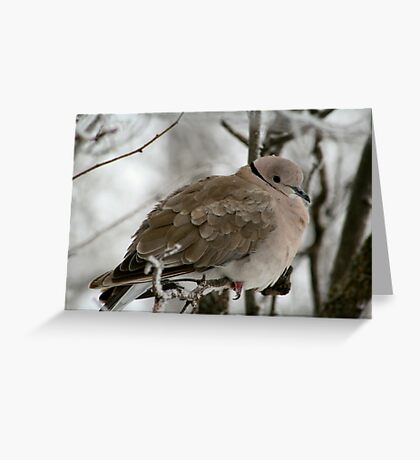 Eurasian Collared Dove Greeting Card