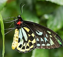 Cairns Birdwing Butterfly by William C. Gladish