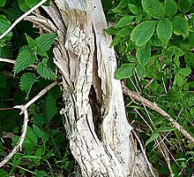 Decayed Tree Stump by Woodie